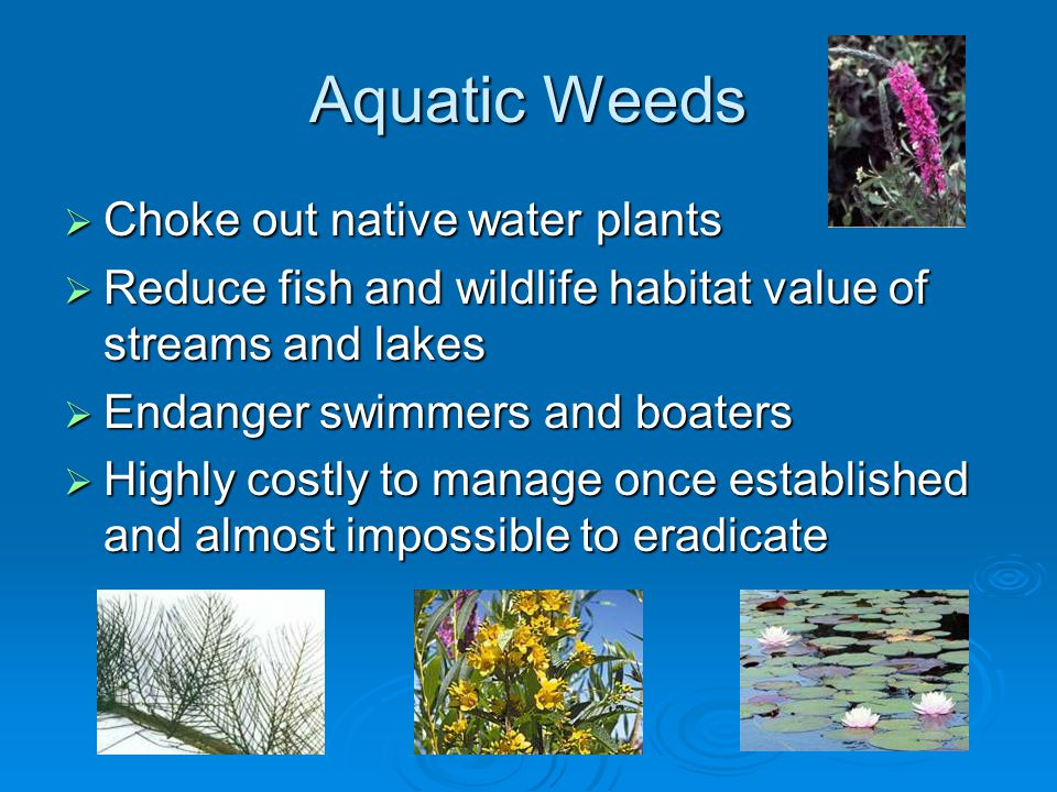 Aquatic Weeds  Choke out native water plants  Reduce fish and wildlife habitat value of streams and lakes  Endanger swimmers and boaters  Highly costly to manage once established and almost impossible to eradicate