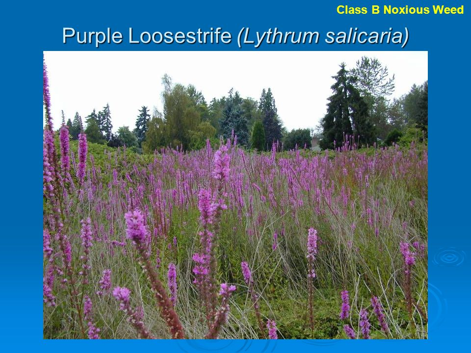 Purple Loosestrife (Lythrum salicaria) Class B Noxious Weed