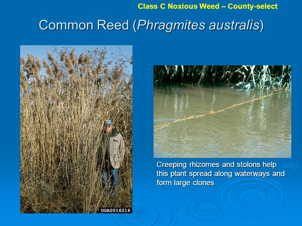 Common Reed (Phragmites australis) Creeping rhizomes and stolons help this plant spread along waterways and form large clones Class C Noxious Weed – County-select