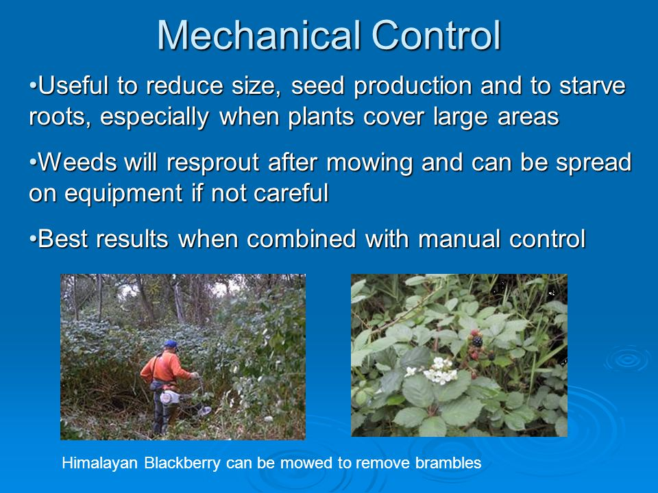 Useful to reduce size, seed production and to starve roots, especially when plants cover large areasUseful to reduce size, seed production and to starve roots, especially when plants cover large areas Weeds will resprout after mowing and can be spread on equipment if not carefulWeeds will resprout after mowing and can be spread on equipment if not careful Best results when combined with manual controlBest results when combined with manual control Himalayan Blackberry can be mowed to remove brambles Mechanical Control