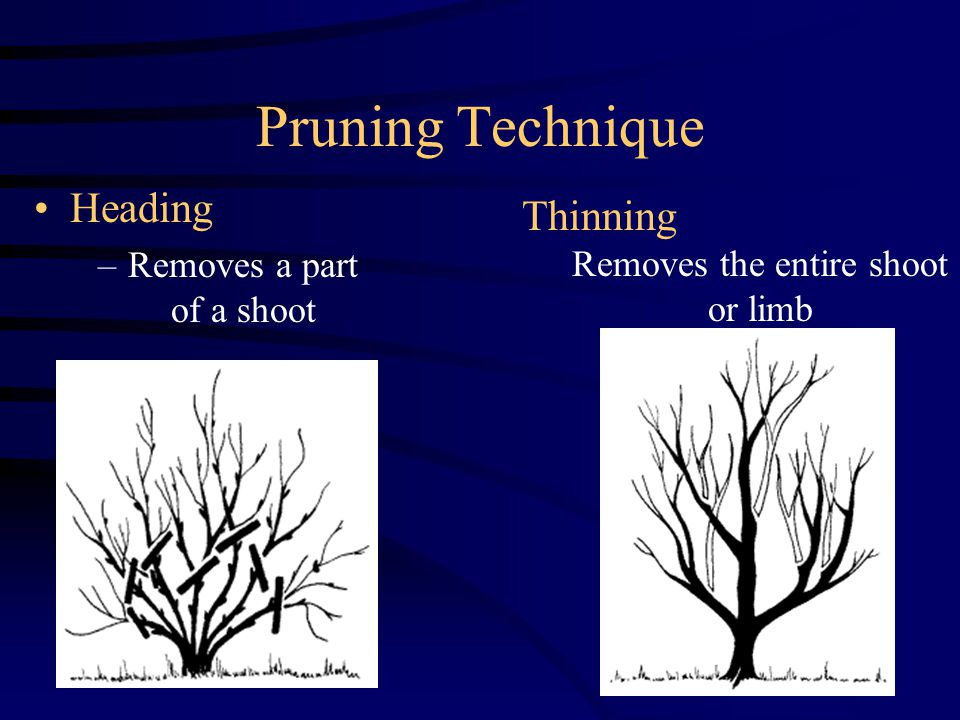 Pruning Technique Heading –Removes a part of a shoot Thinning Removes the entire shoot or limb