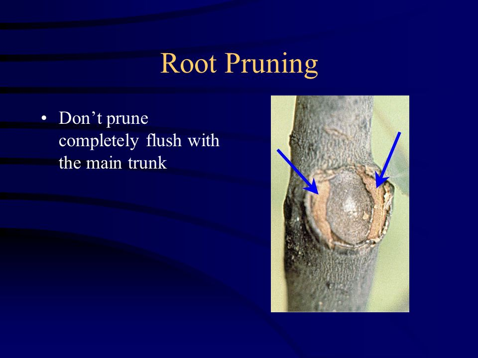 Root Pruning Don't prune completely flush with the main trunk