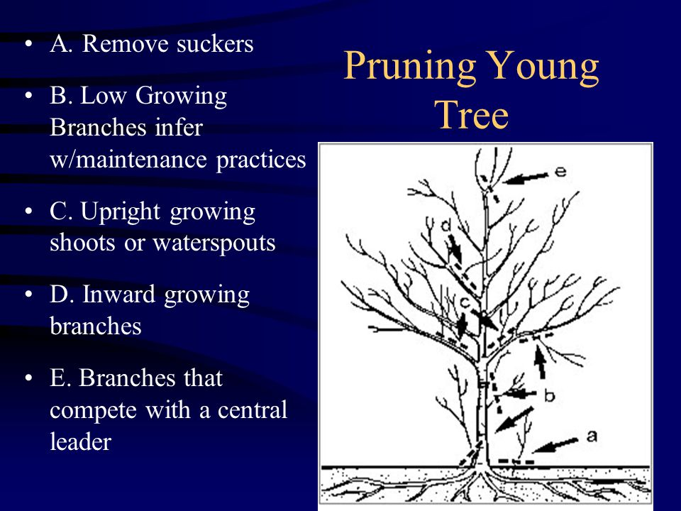 Pruning Young Tree A. Remove suckers B. Low Growing Branches infer w/maintenance practices C.