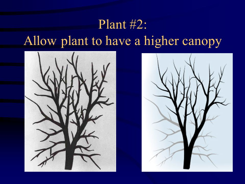 Plant #2: Allow plant to have a higher canopy