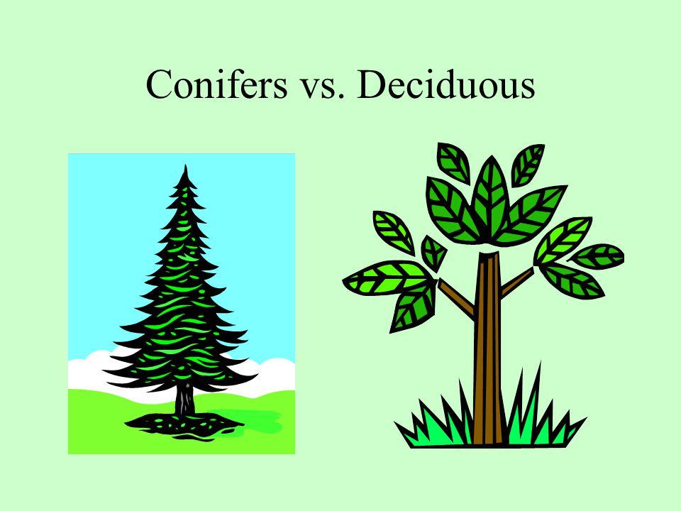 Conifers vs. Deciduous