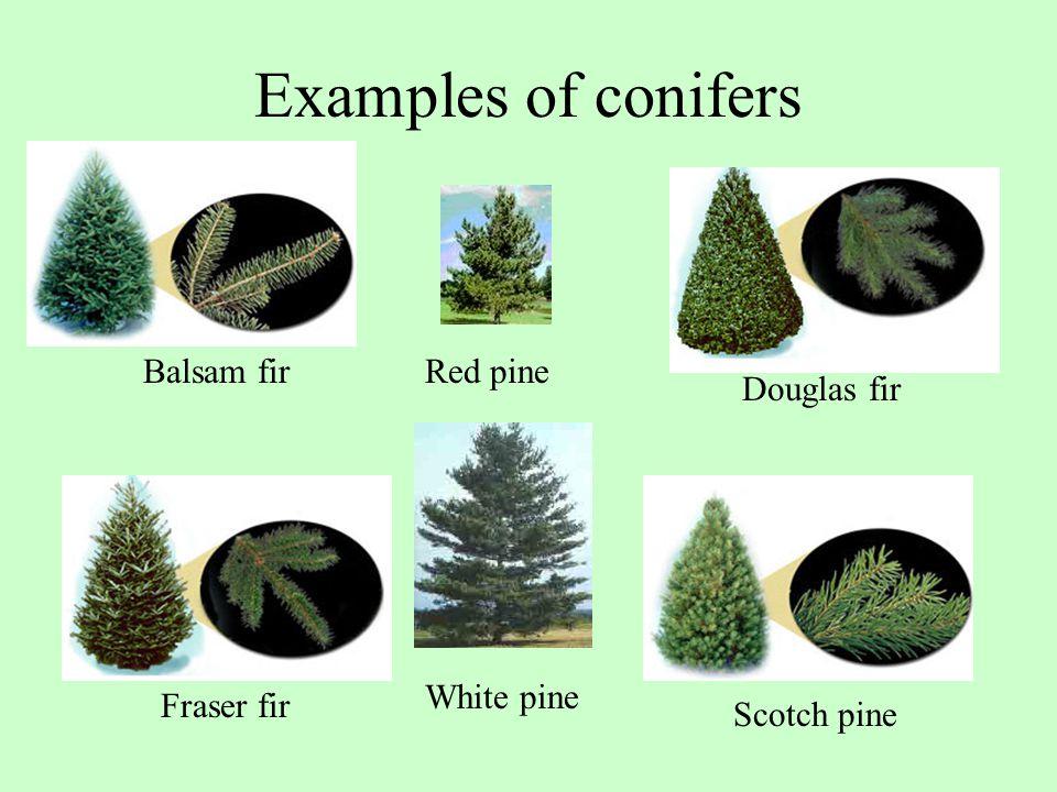Examples of conifers Balsam fir Douglas fir Fraser fir Scotch pine Red pine White pine