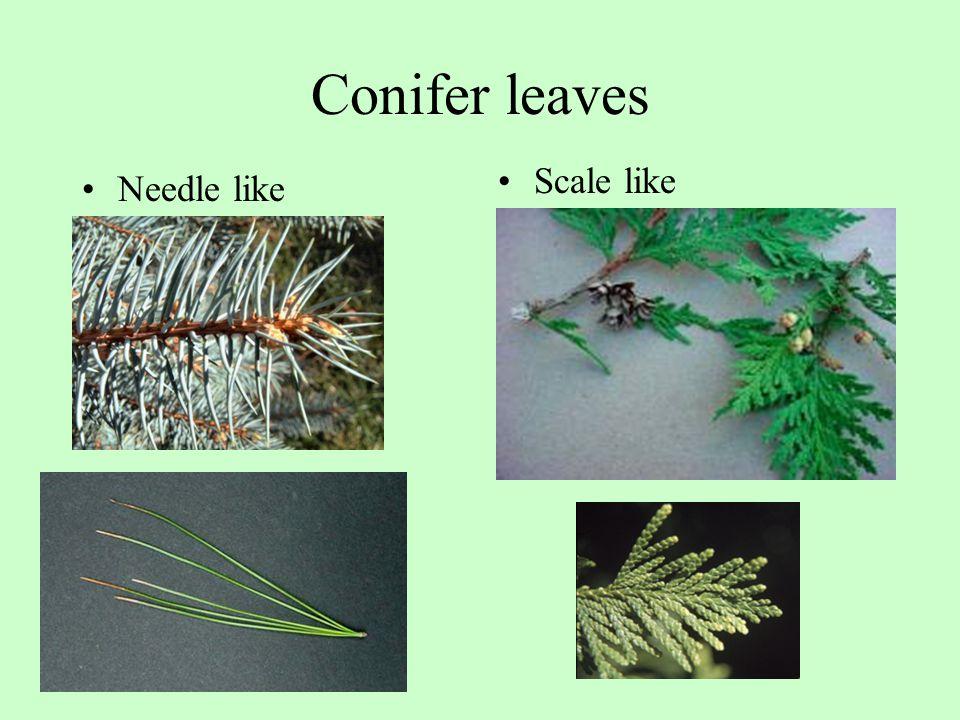 Conifer leaves Needle like Scale like