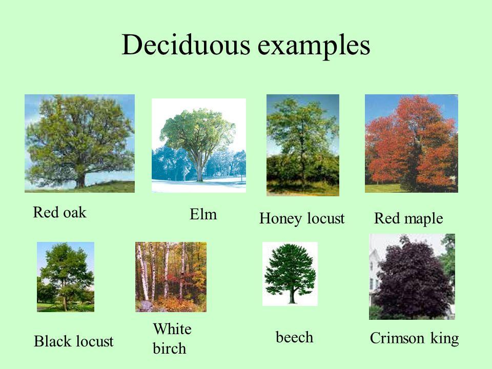 Deciduous examples Red oak Red maple Black locust White birch Crimson king Honey locust beech Elm