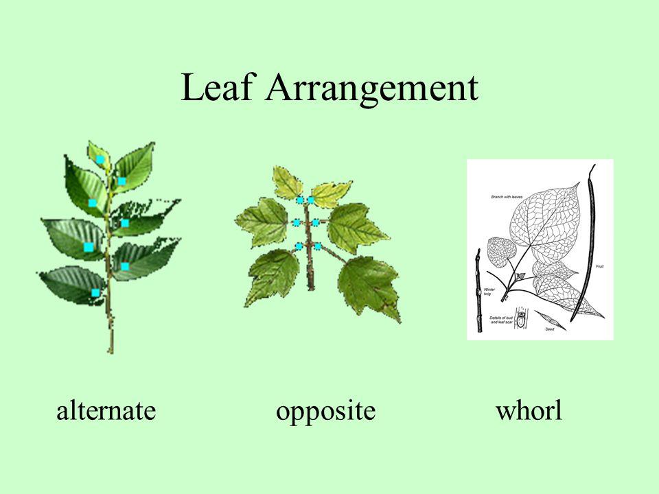 Leaf Arrangement alternate opposite whorl