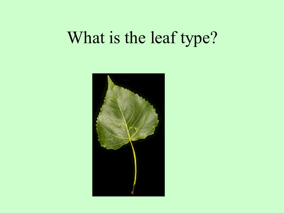 What is the leaf type?