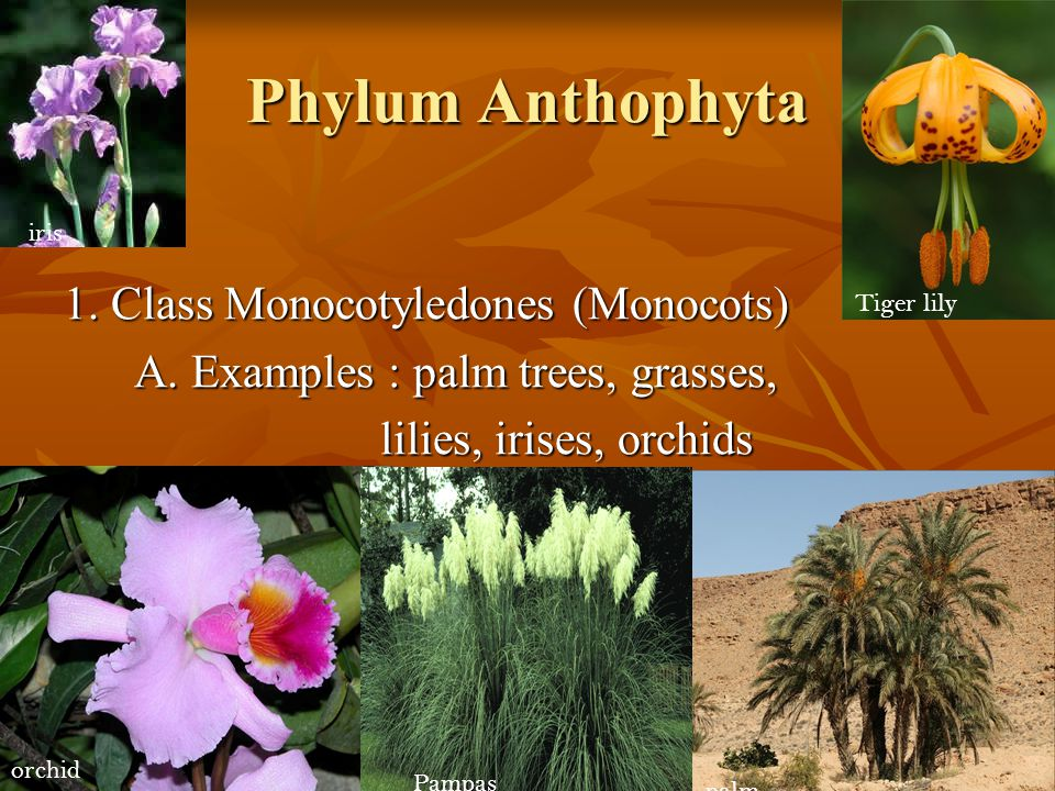 Phylum Anthophyta 1. Class Monocotyledones (Monocots) A. Examples : palm trees, grasses, lilies, irises, orchids iris Tiger lily orchid Pampas grass p