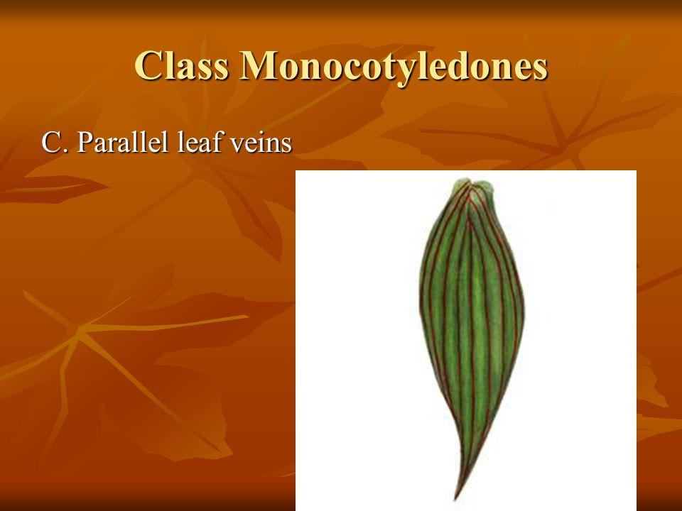 Class Monocotyledones C. Parallel leaf veins