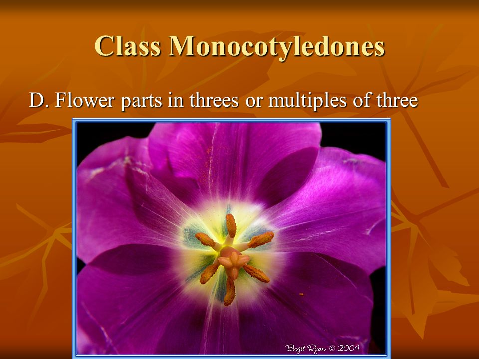 Class Monocotyledones D. Flower parts in threes or multiples of three