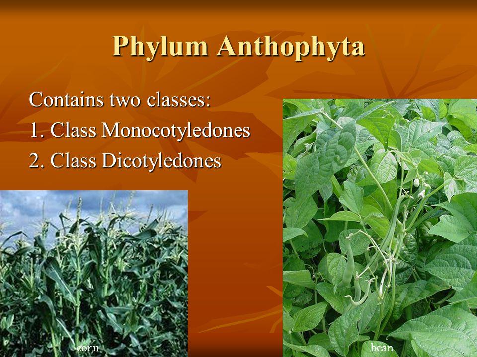 Phylum Anthophyta Contains two classes: 1. Class Monocotyledones 2. Class Dicotyledones cornbean