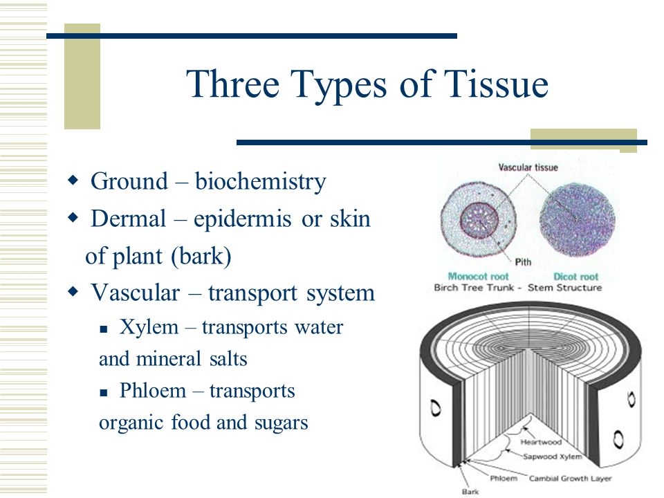 Three Types of Tissue  Ground – biochemistry  Dermal – epidermis or skin of plant (bark)  Vascular – transport system Xylem – transports water and mineral salts Phloem – transports organic food and sugars