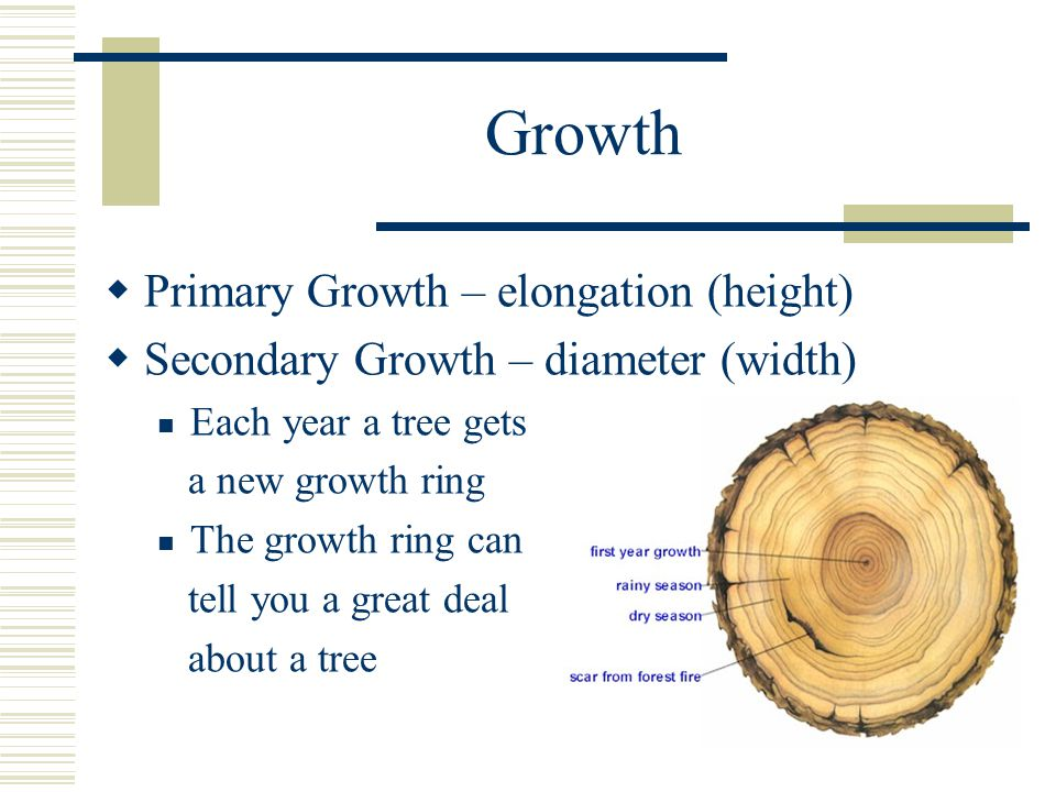 Growth  Primary Growth – elongation (height)  Secondary Growth – diameter (width) Each year a tree gets a new growth ring The growth ring can tell you a great deal about a tree