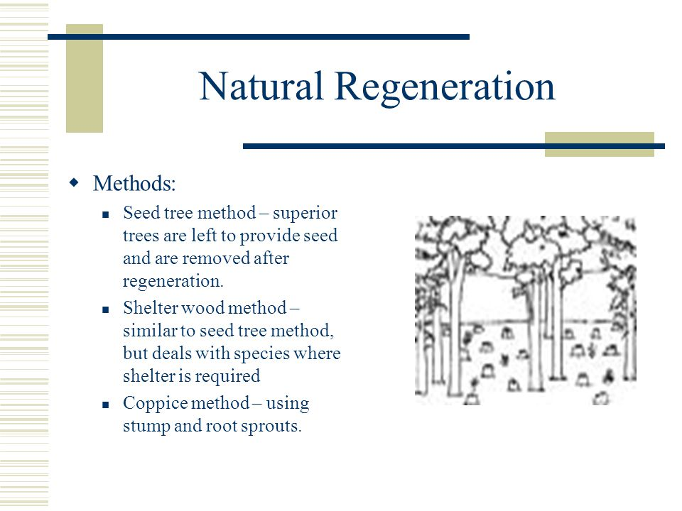 Natural Regeneration  Methods: Seed tree method – superior trees are left to provide seed and are removed after regeneration.