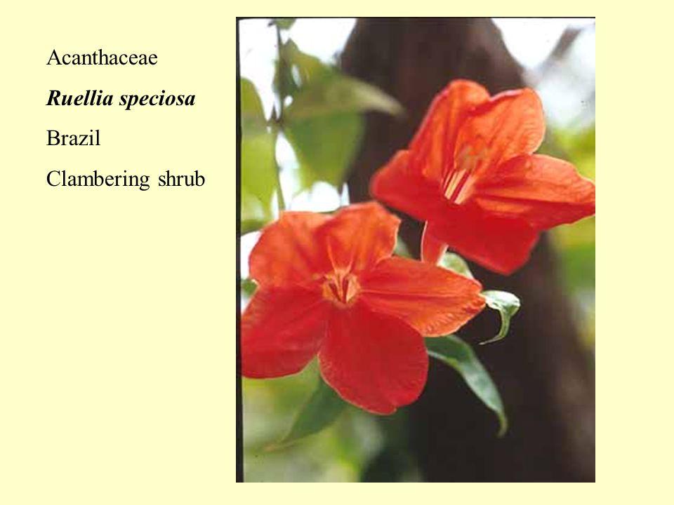 Acanthaceae Ruellia speciosa Brazil Clambering shrub