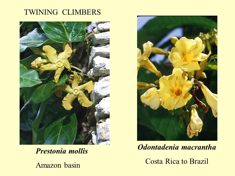 Odontadenia macrantha Costa Rica to Brazil Prestonia mollis Amazon basin TWINING CLIMBERS