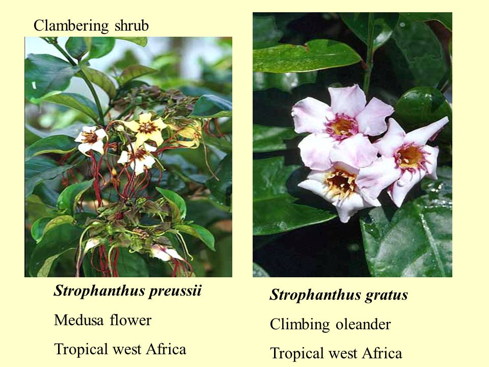 Strophanthus preussii Medusa flower Tropical west Africa Strophanthus gratus Climbing oleander Tropical west Africa Clambering shrub