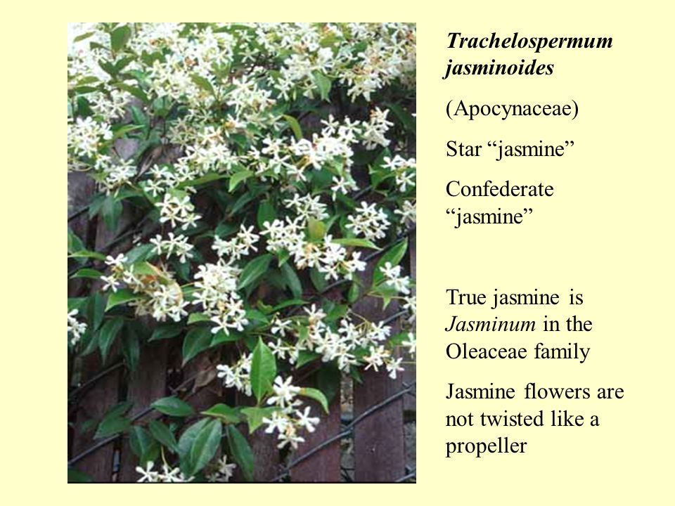 Trachelospermum jasminoides (Apocynaceae) Star jasmine Confederate jasmine True jasmine is Jasminum in the Oleaceae family Jasmine flowers are not twisted like a propeller