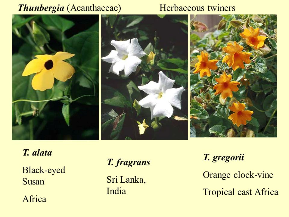 T. alata Black-eyed Susan Africa Thunbergia (Acanthaceae) T.