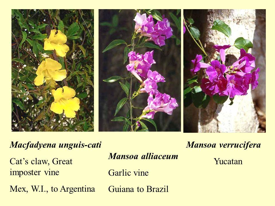 Macfadyena unguis-cati Cat's claw, Great imposter vine Mex, W.I., to Argentina Mansoa alliaceum Garlic vine Guiana to Brazil Mansoa verrucifera Yucatan