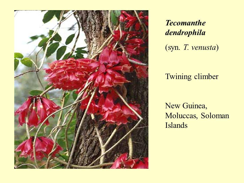 Tecomanthe dendrophila (syn. T. venusta) Twining climber New Guinea, Moluccas, Soloman Islands
