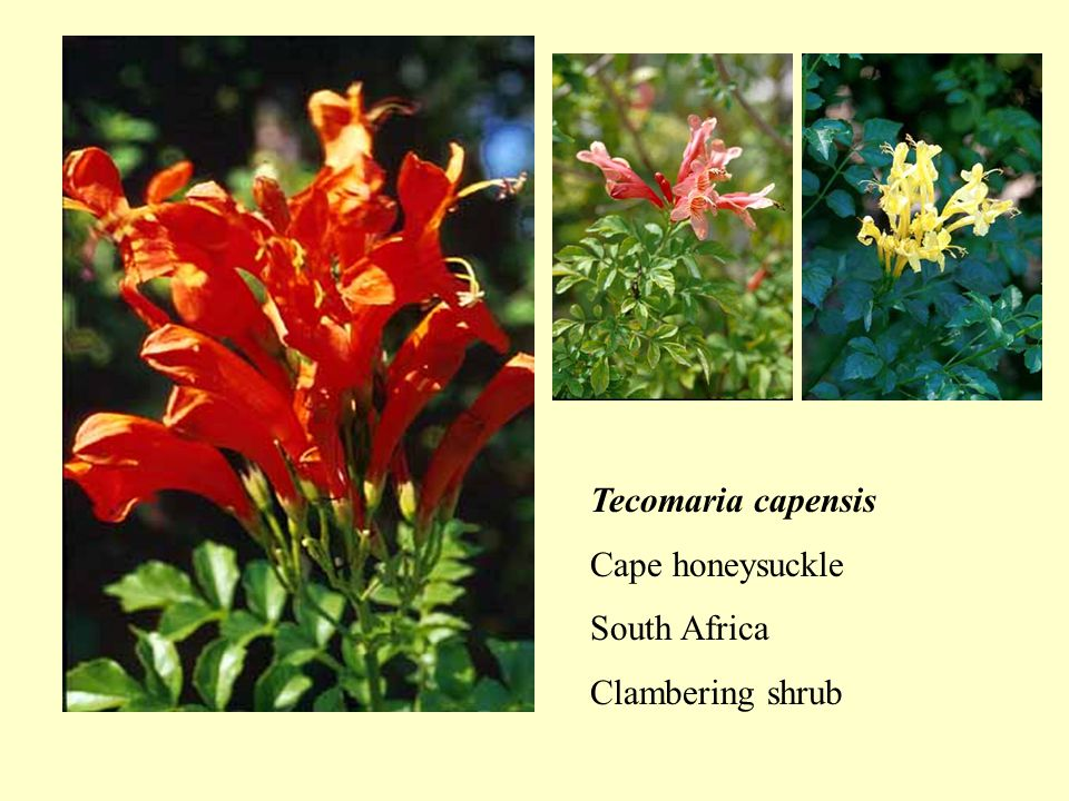 Tecomaria capensis Cape honeysuckle South Africa Clambering shrub