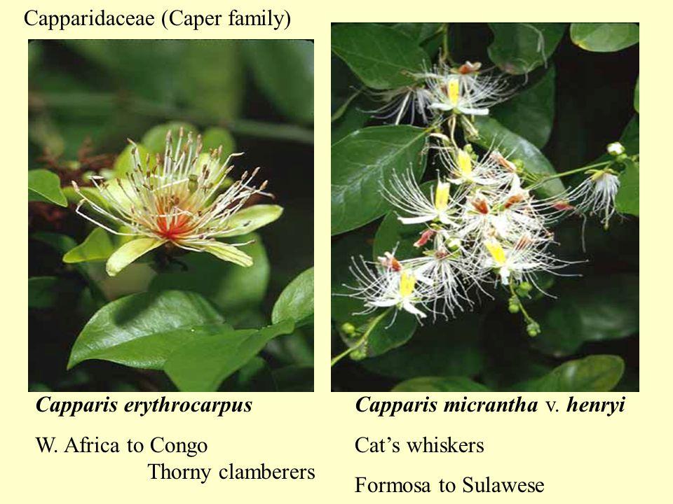 Capparis erythrocarpus W. Africa to Congo Capparis micrantha v.