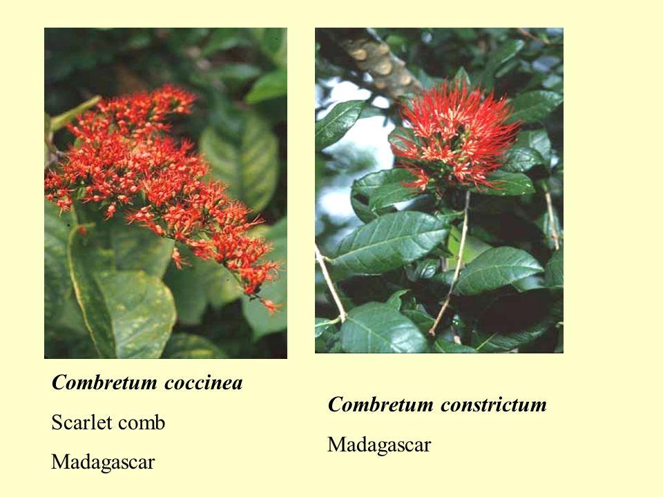 Combretum coccinea Scarlet comb Madagascar Combretum constrictum Madagascar