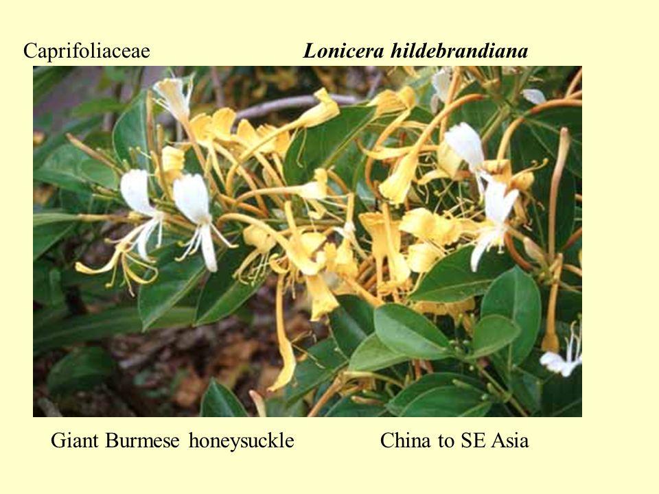 CaprifoliaceaeLonicera hildebrandiana Giant Burmese honeysuckleChina to SE Asia