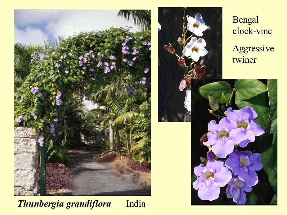 Thunbergia grandiflora India Bengal clock-vine Aggressive twiner