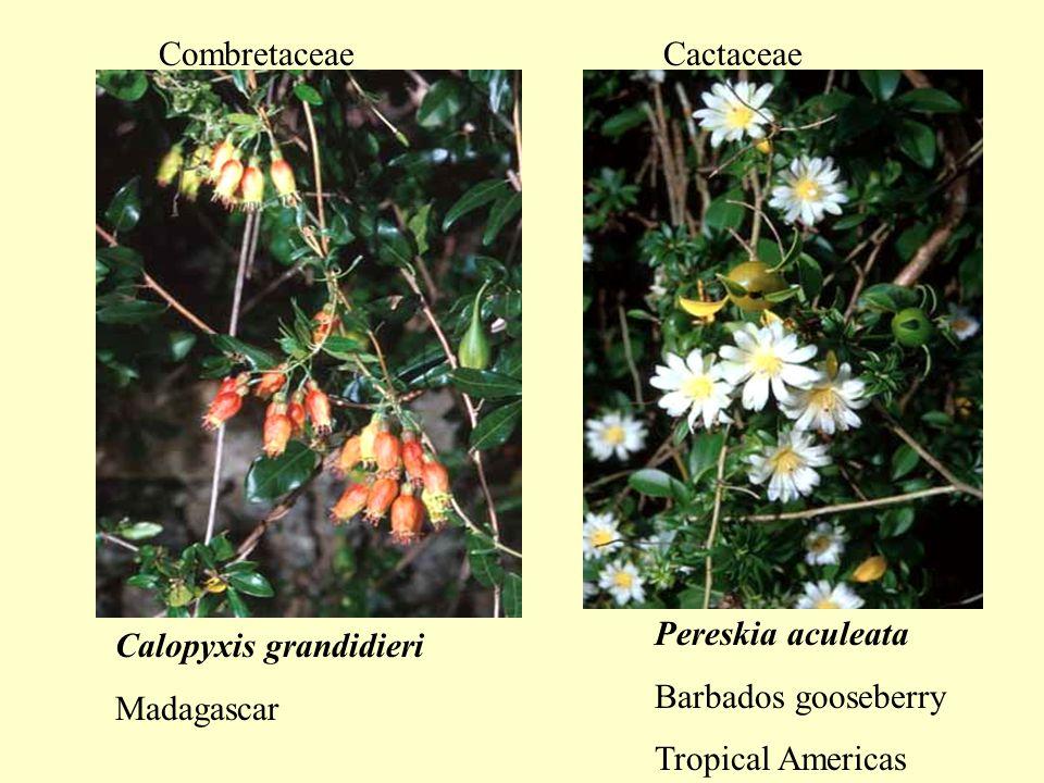 Pereskia aculeata Barbados gooseberry Tropical Americas Cactaceae Calopyxis grandidieri Madagascar Combretaceae