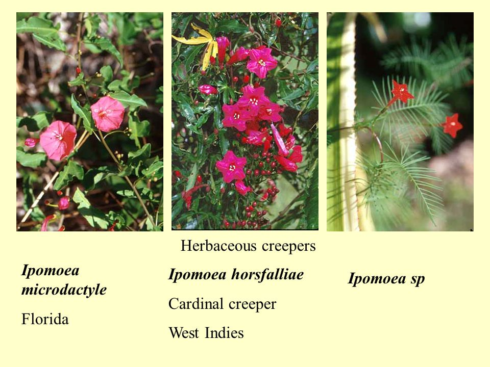 Ipomoea microdactyle Florida Ipomoea horsfalliae Cardinal creeper West Indies Ipomoea sp Herbaceous creepers