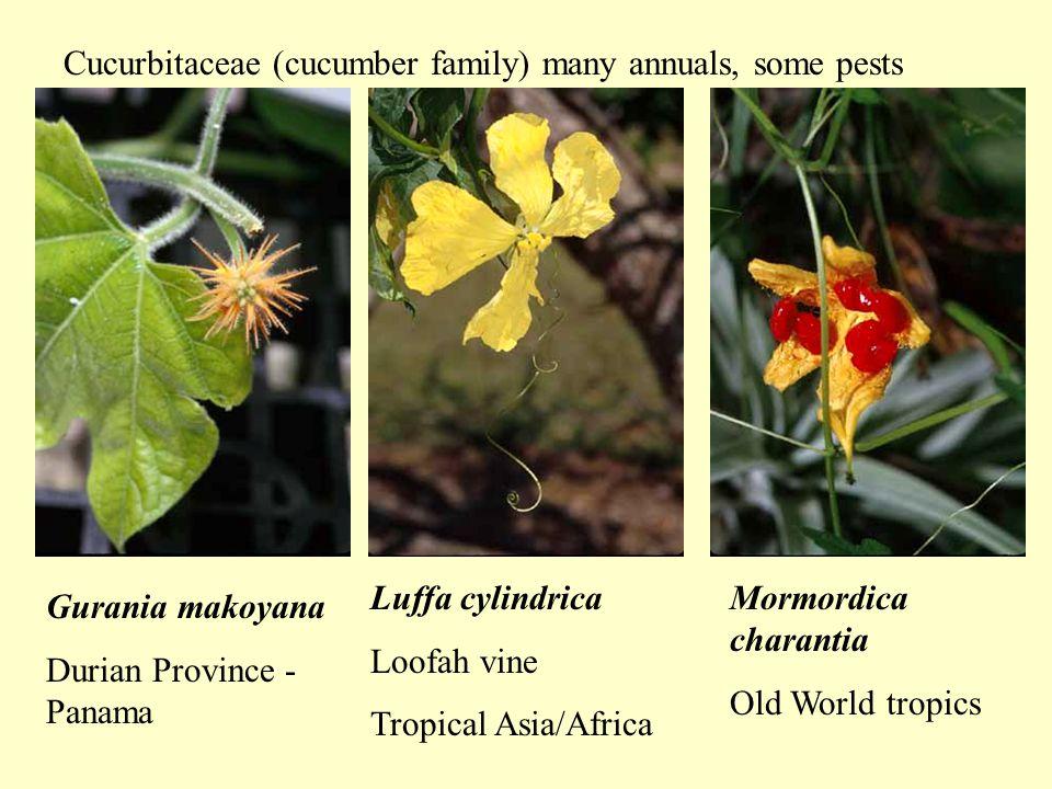 Gurania makoyana Durian Province - Panama Luffa cylindrica Loofah vine Tropical Asia/Africa Cucurbitaceae (cucumber family) many annuals, some pests Mormordica charantia Old World tropics