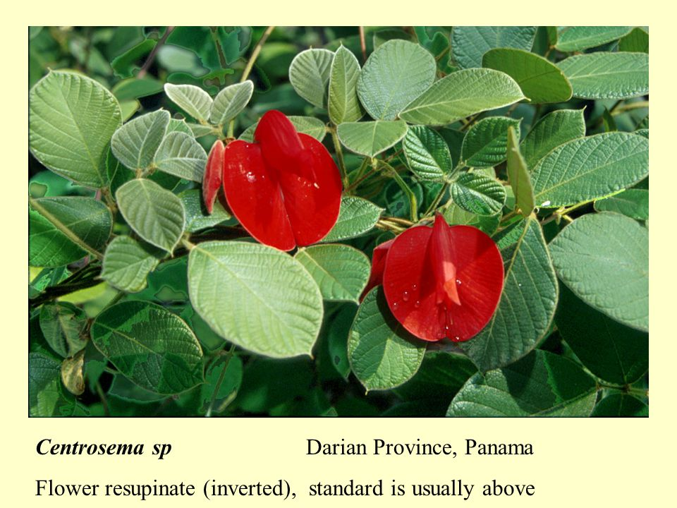 Centrosema spDarian Province, Panama Flower resupinate (inverted), standard is usually above