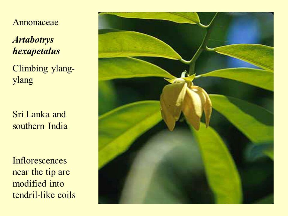 Euphorbiaceae (Poinsettia family) Dalechampia aristolochiafolia Winged beauty, Manicillo Peru, southern Ecuador Few vines in this family.