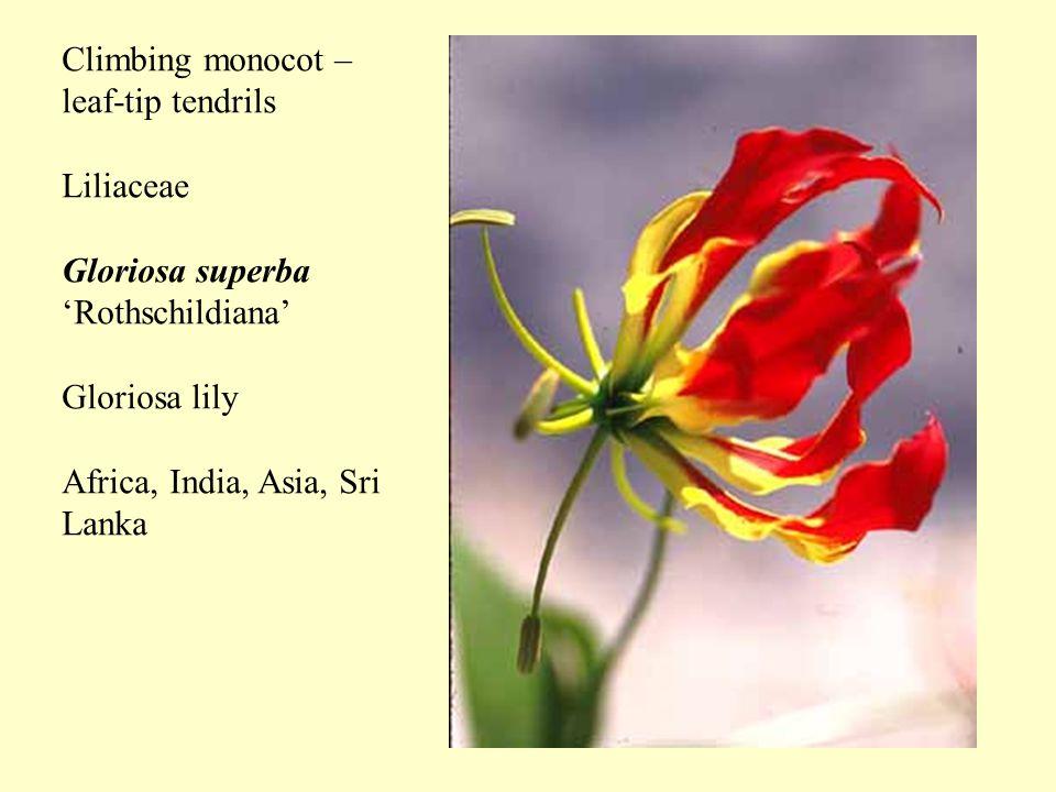 Climbing monocot – leaf-tip tendrils Liliaceae Gloriosa superba 'Rothschildiana' Gloriosa lily Africa, India, Asia, Sri Lanka