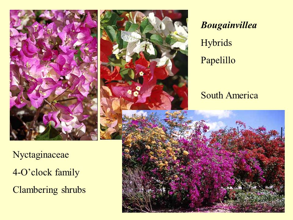 Bougainvillea Hybrids Papelillo South America Nyctaginaceae 4-O'clock family Clambering shrubs