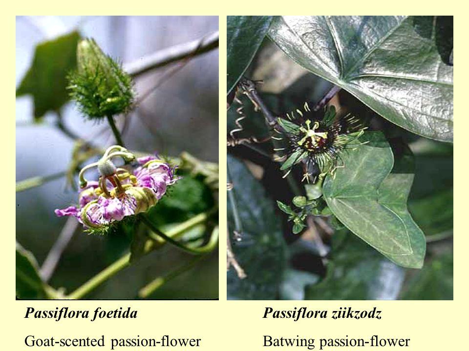 Passiflora foetida Goat-scented passion-flower Passiflora ziikzodz Batwing passion-flower