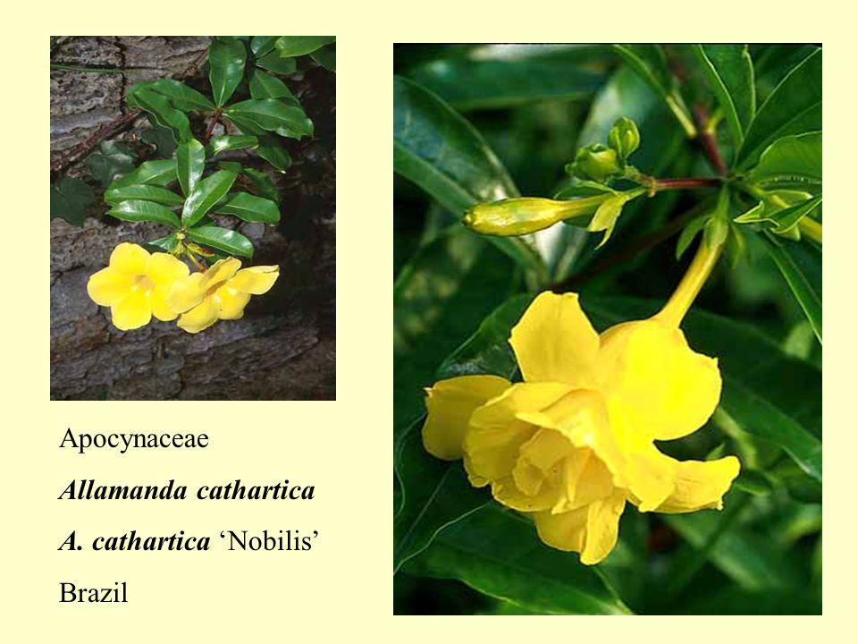 Apocynaceae Allamanda cathartica A. cathartica 'Nobilis' Brazil