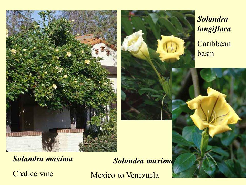 Solandra maxima Chalice vine Solandra longiflora Caribbean basin Solandra maxima Mexico to Venezuela