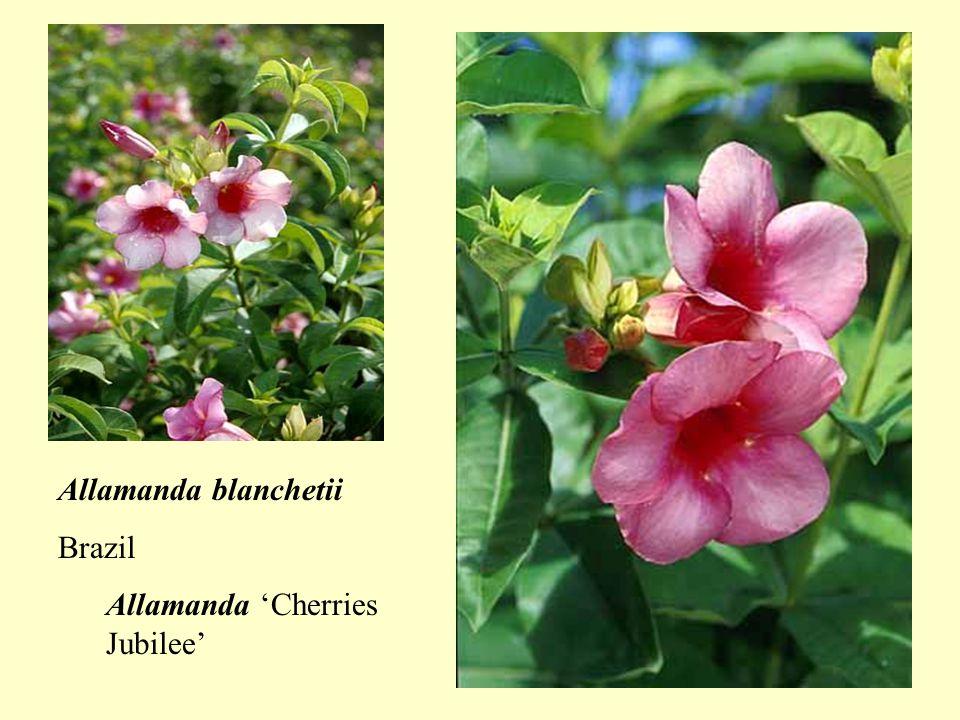 Passiflora alata Passion flowersTropical Americatendrilled vines Passiflora Xamethyst Passiflora edulis