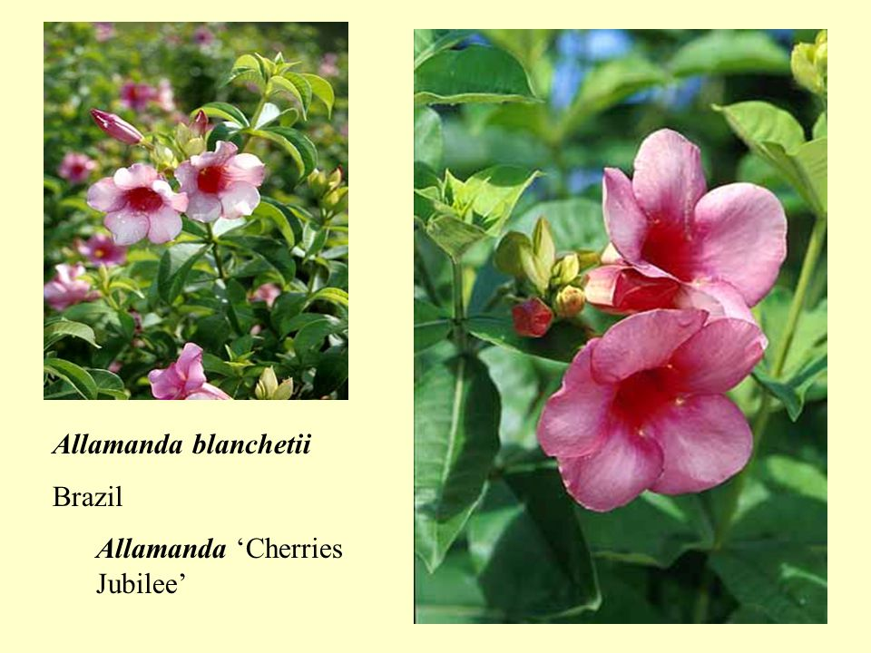 Beaumontia grandiflora Himalayas Herald's trumpet