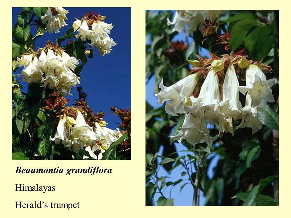 Combretum grandiflorum Showy combretum Tropical west Africa Quisqualis indica India to New Guinea Rangoon creeper, Picuala, Red jasmine