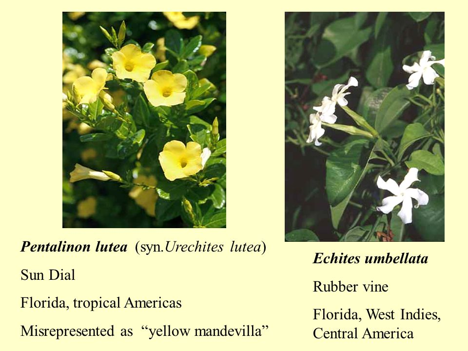 Echites umbellata Rubber vine Florida, West Indies, Central America Pentalinon lutea (syn.Urechites lutea) Sun Dial Florida, tropical Americas Misrepresented as yellow mandevilla