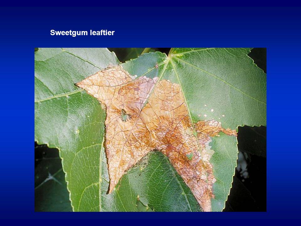 Sweetgum leaftier