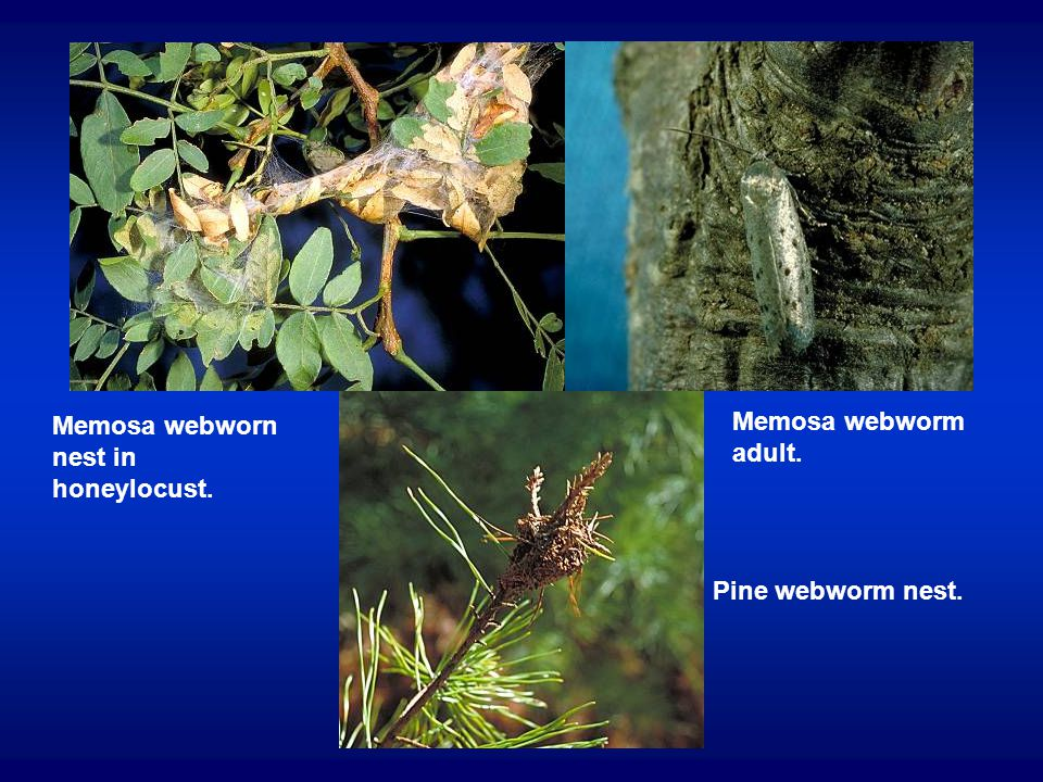 Memosa webworn nest in honeylocust. Memosa webworm adult. Pine webworm nest.
