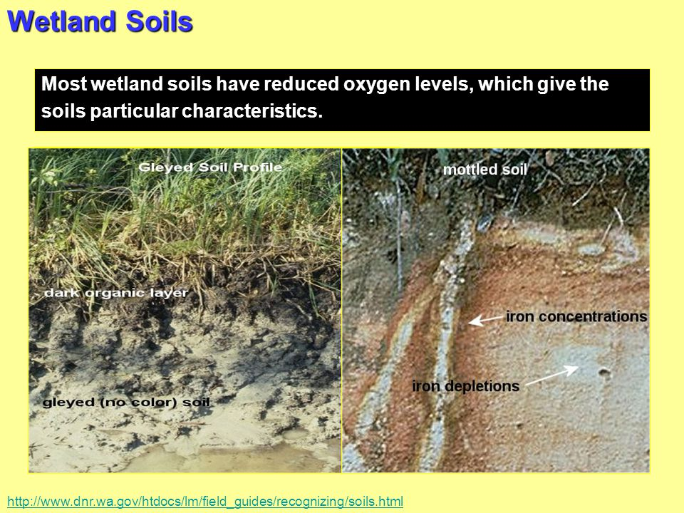 Wetland Soils Most wetland soils have reduced oxygen levels, which give the soils particular characteristics. Gleyed or mottled Accumulation of organi